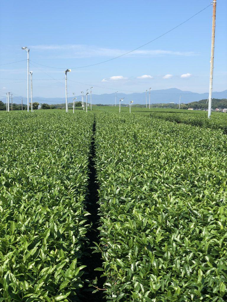 広川町の茶畑