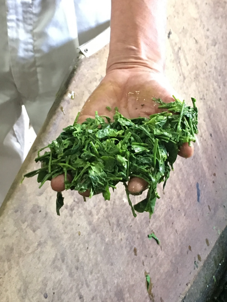 蒸された直後の茶葉