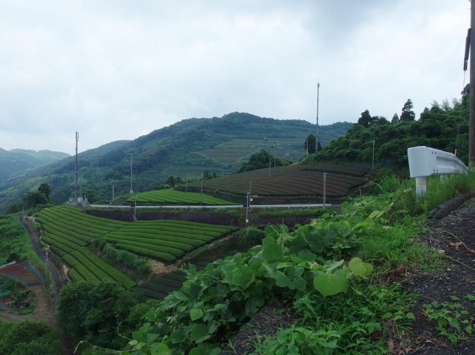 小椎尾の茶畑